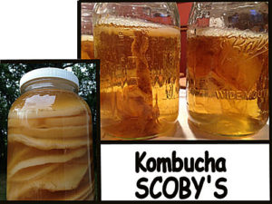 Kombucha Scoby Starter with recipes and instructions