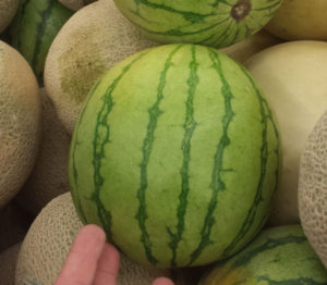 Personal Sized Watermelon for your first kombucha batch